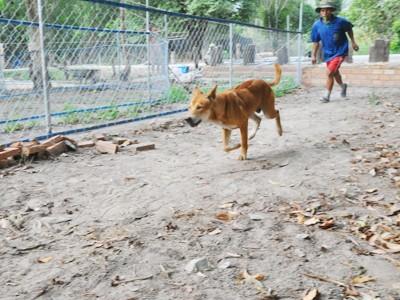 Mở trường đua chó ở Phú Quốc