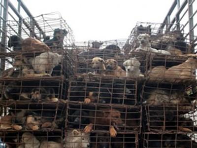 Điệp vụ giải cứu 500 chú chó bị nhốt trên xe tải