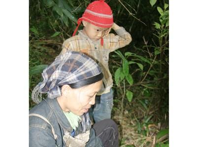 Đổ xô đào bới rễ sim bán sang Trung Quốc