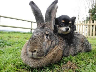 Chú thỏ lớn nhất thế giới nặng hơn 20 kg