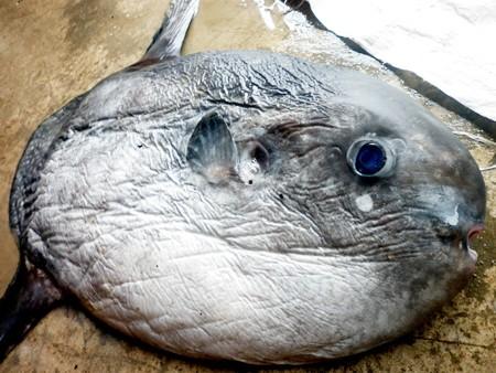 Bắt được cá Mặt trăng nặng 15kg