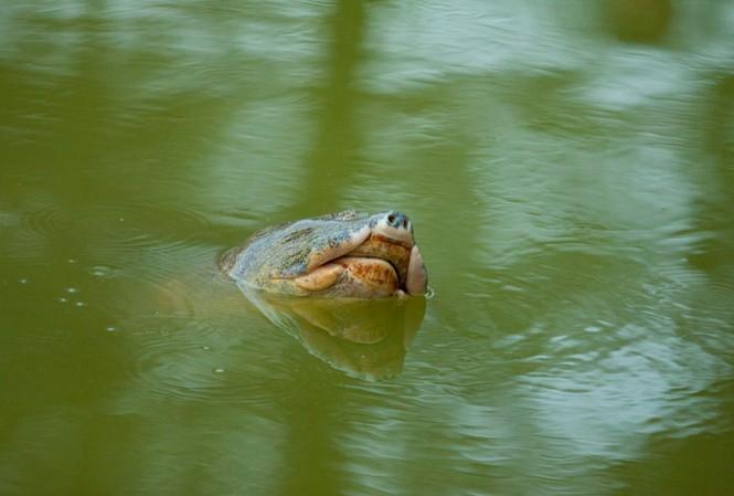 Chùm ảnh: Rùa hồ Gươm lại nổi