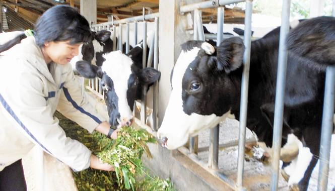 Một số hộ nông dân đang tìm phương án bán đàn bò sữa.