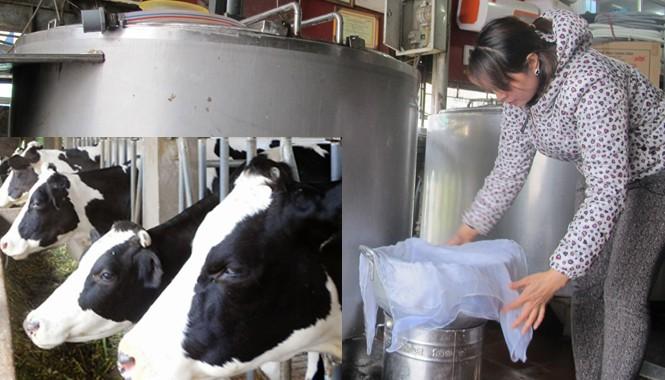 Nhiều hộ nông dân chán nản muốn bán đàn bò.