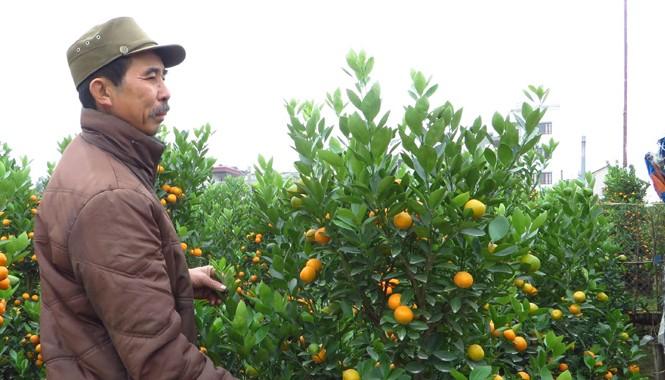 Ông Nguyễn Vũ Khánh thẫn thờ với vườn quất đã chết hơn nửa.
