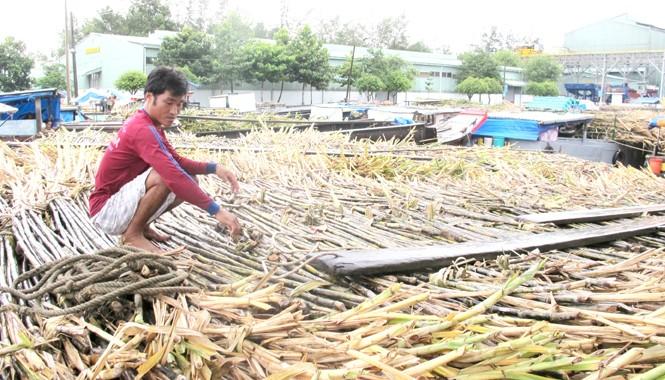 Theo VSSA, việc cho nhập khẩu 50.000 tấn đường với mức thuế 0% sẽ khiến người trồng mía và ngành mía đường gặp nhiều khó khăn. Ảnh: Lam Khánh.