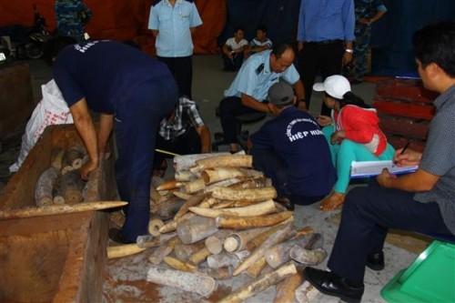Ngà voi được giấu trong ruột gỗ