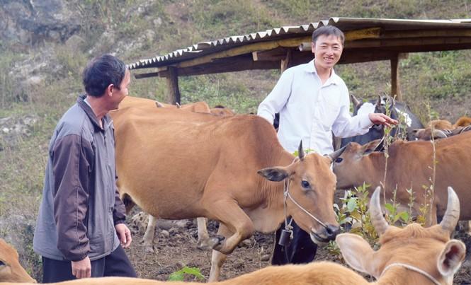 """Thào A Chua, một """"triệu phú A Phủ"""" bên đàn bò của mình."""