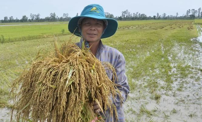 Người nông dân vất vả làm ra lúa nhưng ngày càng nghèo đi. Ảnh: Hòa Hội.