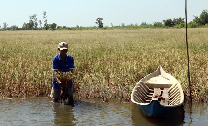 Đồng bằng sông Cửu Long, vựa lúa của Việt Nam, đang phải đối mặt nhiều thách thức lớn về môi trường và an ninh lương thực. Ảnh: TGTT.