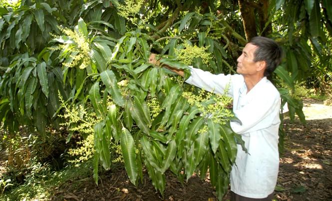 """Ông Võ Hữu Hiền cho rằng mô hình """"Cây xoài nhà tôi"""" đem lại hiệu quả thiết thực, năm nay ông sẽ tiếp tục đăng ký bán tiếp những cây xoài khác."""