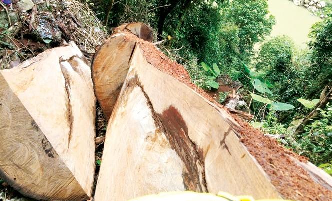Những cây nghiến trăm năm tuổi bị lâm tặc xẻ thịt.