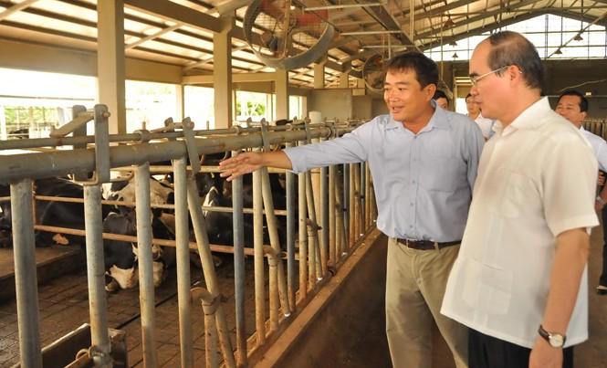 Chủ tịch Nguyễn Thiện Nhân tham quan một trang trại nuôi bò tại Sóc Trăng. Ảnh: Hòa Hội.