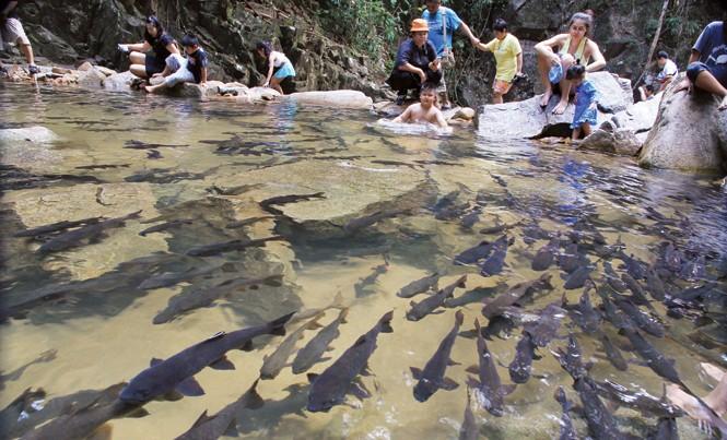 Giống cá sinh sôi nảy nở thoải mái theo suốt dòng suối dưới chân thác Phliu.
