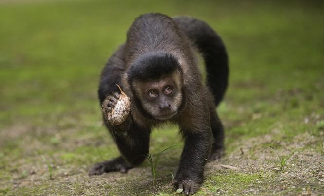 Loài khỉ ở Brazil đang có nguy cơ tuyệt chủng vì người dân tưởng nhầm chúng truyền bệnh sốt vàng da. Ảnh: Getty Images.