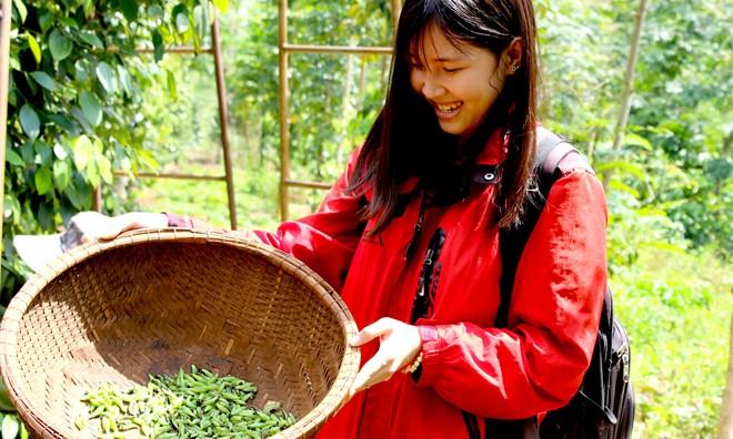 Sâu muồng có nhiều trong vườn tiêu, cà phê.