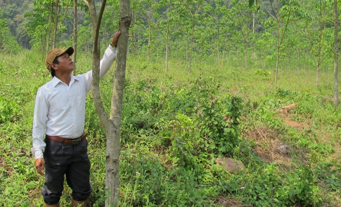 Thời điểm này cây cao su ở Quảng Bình đang thay lá nên dù giá mủ có cao, nông dân vẫn không khai thác được.