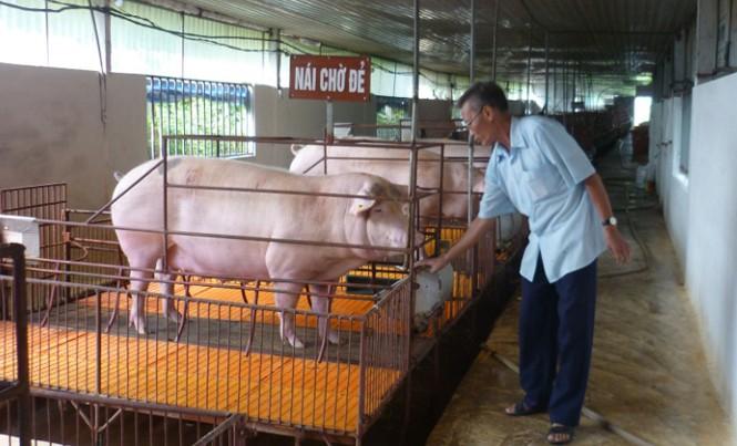 Một hộ chăn nuôi lợn sinh học tại huyện Phúc Thọ.