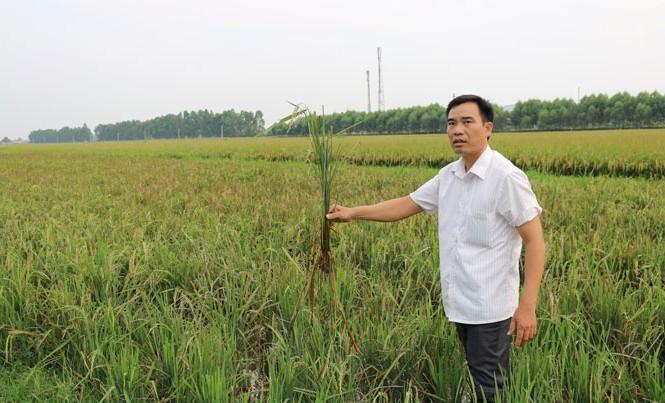 Lúa thối rễ và chết quanh Nhà máy xử lý nước thải KCN Quang Châu.