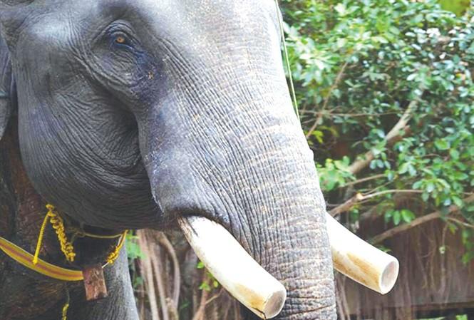 """Ngà voi luôn bị các """"voi tặc"""" tìm cách cưa trộm."""
