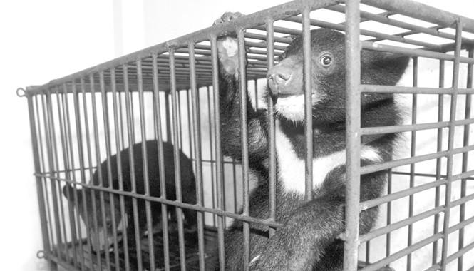 Một cơ sở nuôi gấu tại Hà Nội. Ảnh: Hồng Vĩnh