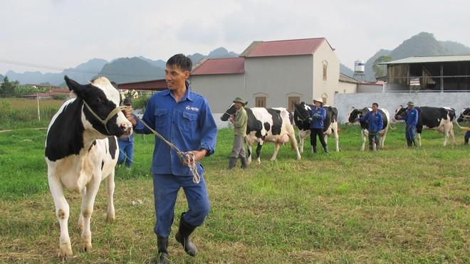 Nhiều hộ tích cực luyện tập cho thí sinh, sẵn sàng cho Hội thi Hoa hậu bò sữa Mộc Châu lần thứ 13, diễn ra ngày 14-15/10 tới.