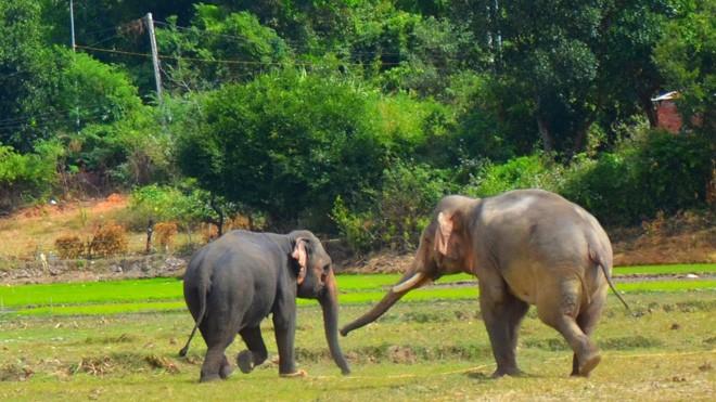 Chàng voi Y Mâm bắt đầu tỏ tình với nàng voi Pắk Nang.