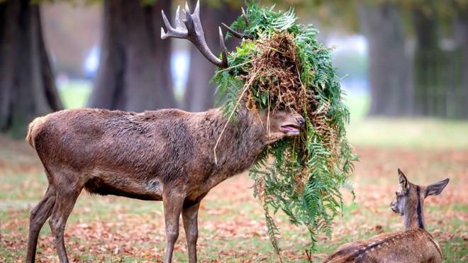 Hươu đực làm đỏm với 'tóc giả' bằng lá cây