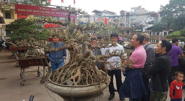 Siêu cây tiền tỷ ở làng Triều Khúc