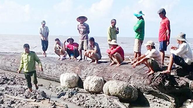 Bị chôn vùi hàng chục năm ở cửa biển nhưng gỗ cây còn nguyên vẹn. Ảnh: C.M.