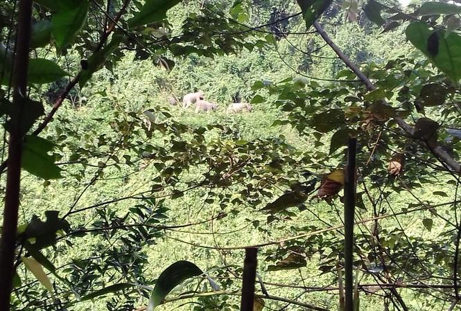 Đàn voi 7 con xuất hiện ở bìa rừng.