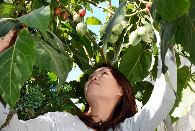 Chị Thủy bên cây cà chua thân gỗ Tamarillo.