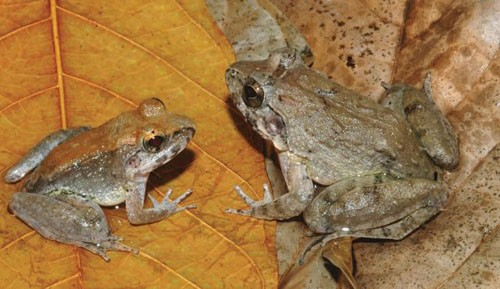Con đực (trái) và con cái thuộc loài ếch Limnonectes larvaepartus mới được phát hiện ở đảo Sulawesi, Indonesia. Ảnh: Reuters