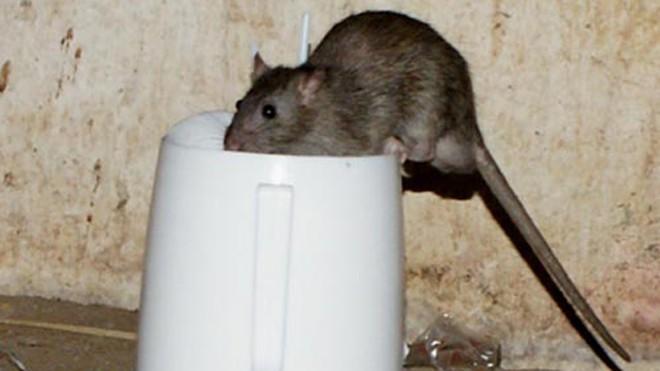 Chuột cống mang nhiều virus gây bệnh. Ảnh: Thiên Chương