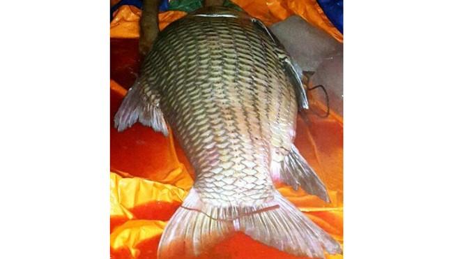 Con cá hô 110 kg được đưa về TP HCM. Ảnh: H.D