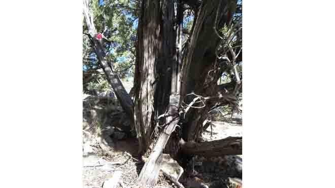 Khẩu súng dựa vào gốc cây bách tại vườn quốc gia Great Basin, Mỹ. Ảnh: Washington Post