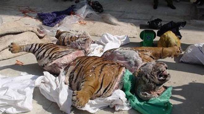 Cá thể hổ nặng hàng trăm kg bị xẻ thành 5 khúc.