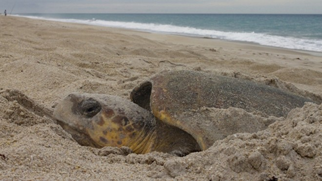 Rùa biển làm tổ tại bãi biển Melbourne, Florida, Mỹ. Ảnh: J. Roger Brothers