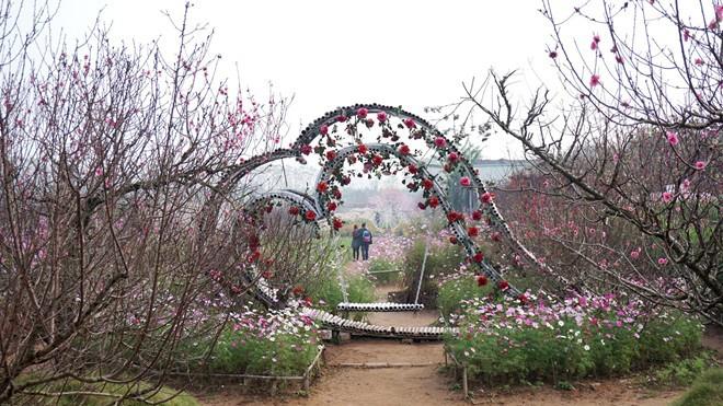 Vườn đào rộng 10.000 m2 của gia đình ông Nguyễn Nhân Đạo tại Nhật Tân (Tây Hồ, Hà Nội). Ảnh:Diệp Sa.