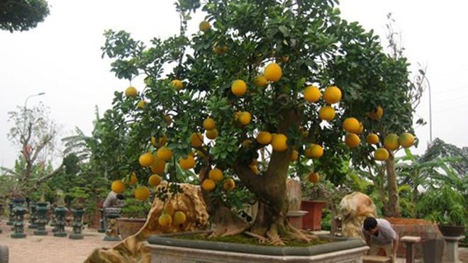 Chậu bưởi cảnh trị giá gần 100 triệu của nghệ nhân Chu Mạnh Hùng được đặt tại vườn cảnh ở Phúc Thọ (Sơn Tây- Hà Nội).