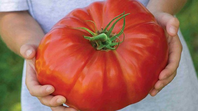 Một quả cà chua thuộc giống Gigantomo. Ảnh: BNPS