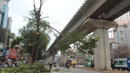 Những cây xà cừ cổ thụ cuối cùng trên đường Nguyễn Trãi - Trần Phú đang bị chặt hạ