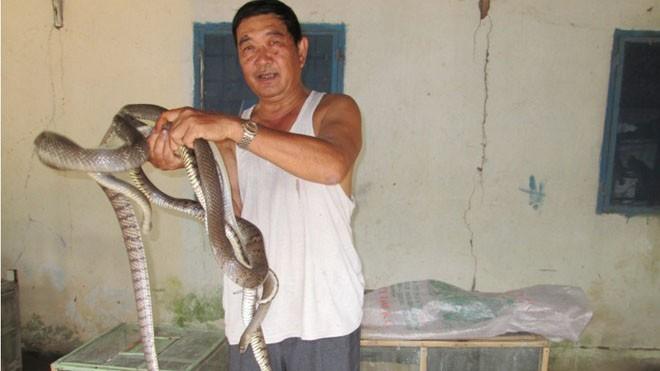 Trước đây, rắn thương phẩm loại từ 3 đến 5 kg/con được bán với giá hơn 1 triệu đồng/kg nay giảm xuống còn 400.000 đồng/kg nhưng thương lái rất hạn chế mua. Ảnh: Kim Thoa.