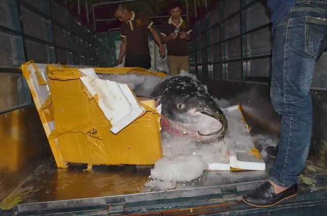 Con cá được vận chuyển bằng máy bay về Sân bay Đà Nẵng, sau đó bỏ lên xe tải chở về nhà hàng
