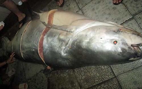 Cá tra dầu 230k g được xẻ thịt trong sáng nay tại một nhà hàng lớn ở TP Long Xuyên. Ảnh: A.X