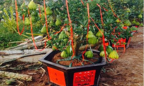 Các chậu phật thủ bonsai của vườn anh Tạ Tùy Duy được trang trí để giao cho khách.