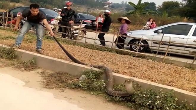 Người đàn ông túm đuôi rắn để ngăn con vật bò đi.