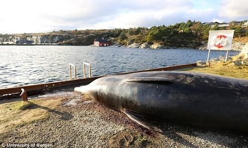 Con cá voi ốm yếu mắc cạn ở vùng nước nông thuộc đảo Sotra. Ảnh: Đại học Bergen.