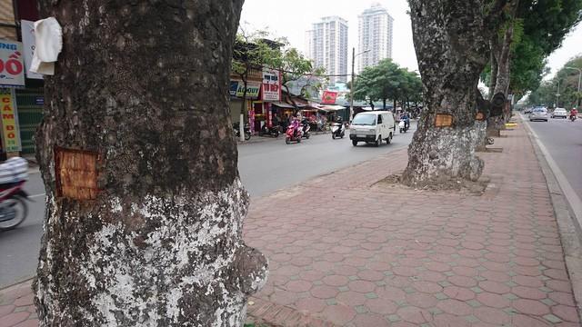 Cả một hàng cây, cây nào cũng bị đẽo một mảng vỏ.