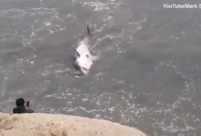 Cá mập trắng mắc kẹt, dân bất chấp nguy hiểm lao xuống chụp ảnh